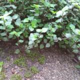 洋竹草自然生长3年状态